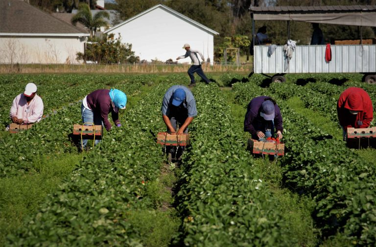 straberry picker workers